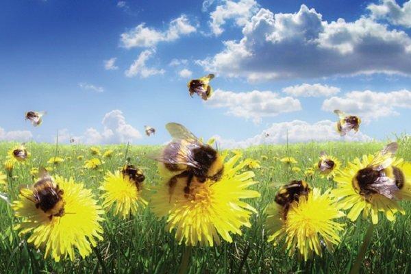 آفت کش های جدید زنبورهای عسل را عقیم می نمایند