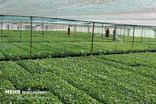 اجرای طرح امنیت غذایی در اراضی کشاورزی قروه