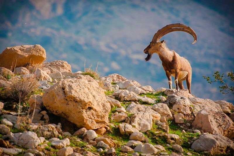 آغاز سرشماری پاییزه حیات وحش در مناطق زیست محیطی فارس