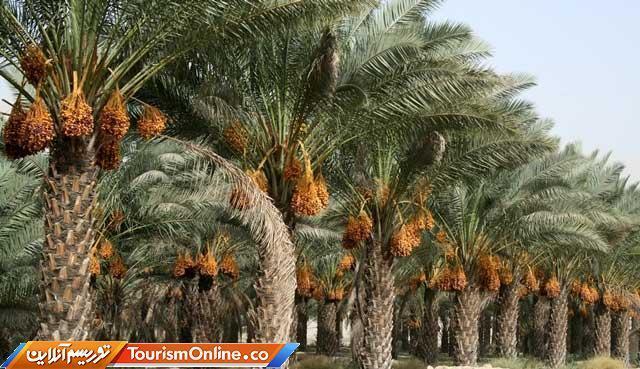جشنواره خرما در بوشهر برگزار می گردد