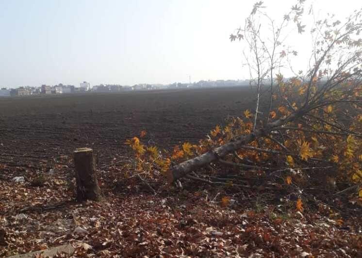 خبرنگاران قطع شبانه درختان چنار، معضل جدید خیابان&zwnjهای خلوت گنبدکاووس است